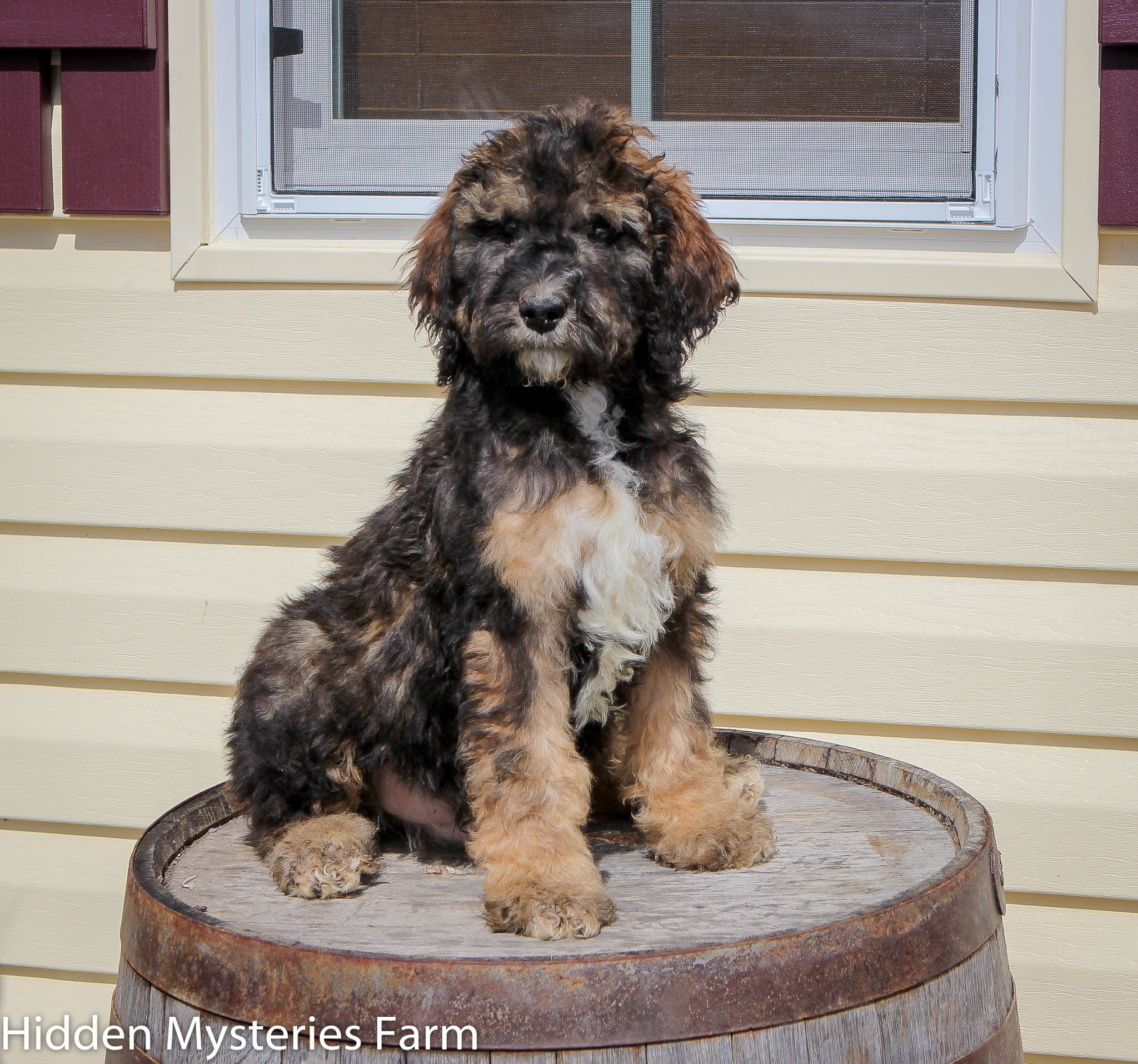 Bernedoodles Kc Hidden Mysteries Farm